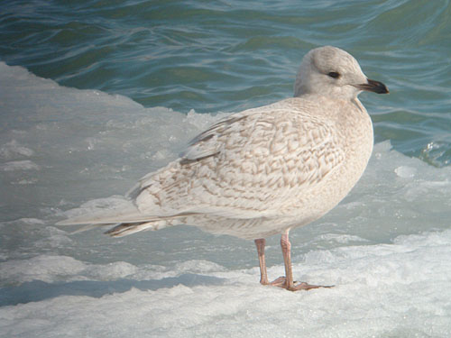 """Kumlien's"" Iceland Gull  (first year)"