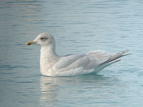 """Kumlien's"" Iceland Gull (second year)"