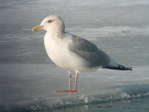 """Thayer's"" Iceland Gull (adult)"