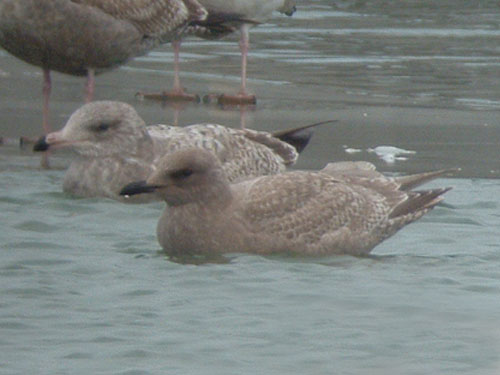 """Thayer's"" Iceland Gull"