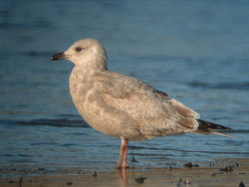 """Thayer's"" Iceland Gull (first year)"