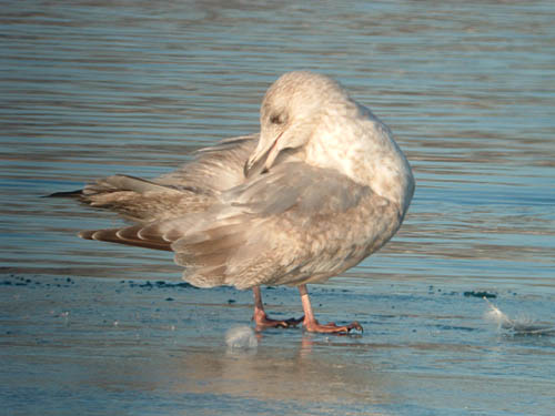 """Thayer's"" Iceland Gull (second year)"