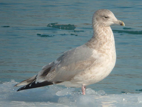 """Thayer's"" Iceland Gull (third year)"