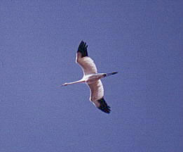 Whooping Crane Flight Shot