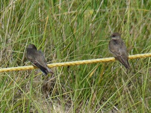 Bank and Northern Rough-winged Swallows