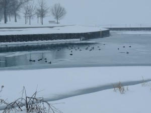 Waterfowl at Montrose Harbor