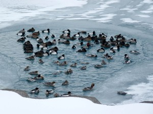 Waterfowl trapped by ice