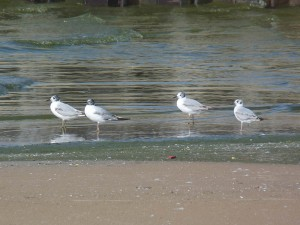 Bonapartes Gulls