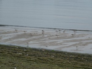 Shorebirds and Algae