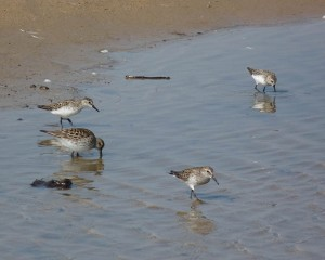 White-rumped and Semipalmated Sandpipers