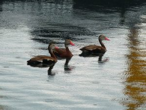 Black-bellied Whistling-Ducks