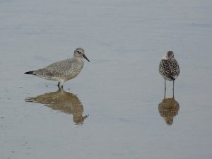 Red Knot and Stilt Sandpiper