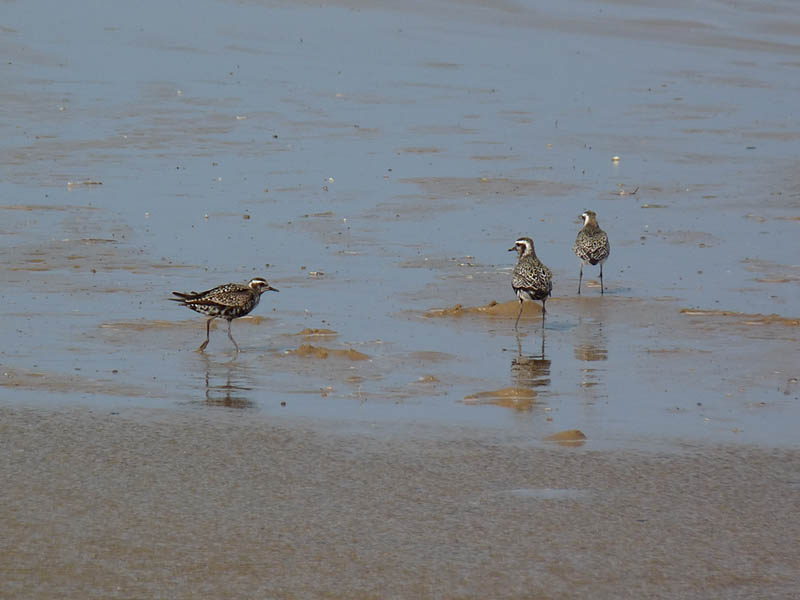 American Golden-Plovers