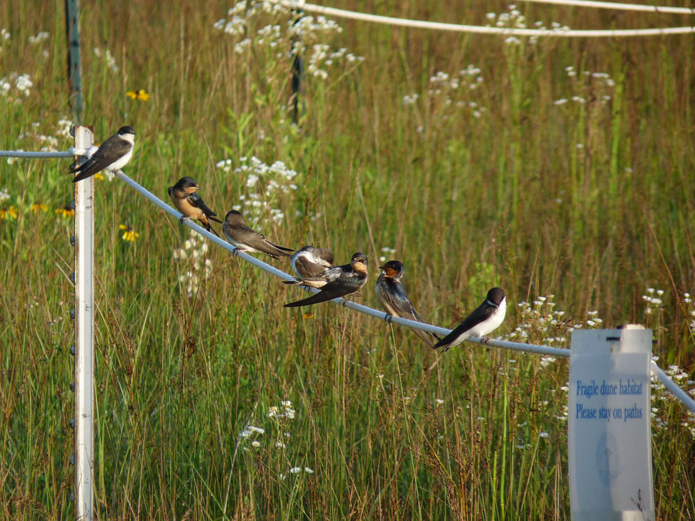 Cliff, Tree, and Barn Swallows