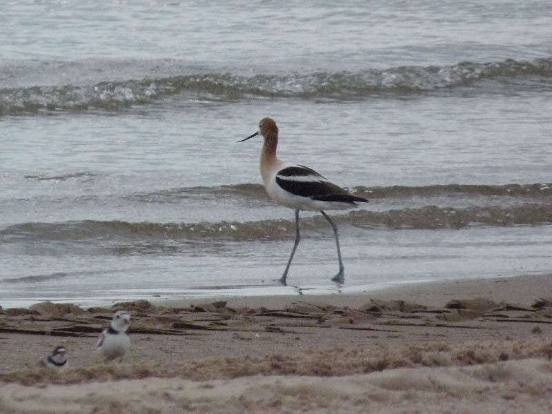 American Avocet, Piping Plover, and Semipalmated Plover