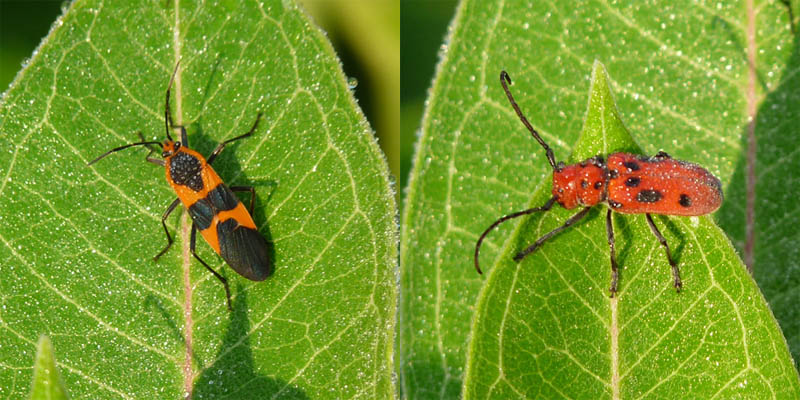 Large Milkweed Bug and Red Milkweed Beetle