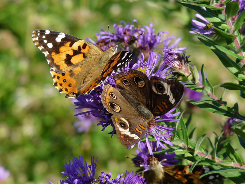 Painted Lady and Common Buckeye