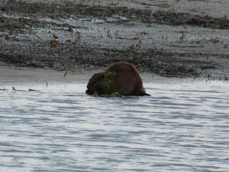 Beaver at Montrose Dunes