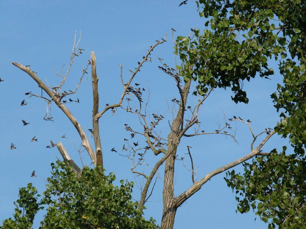 Purple Martins staging at LaSalle Fish and Wildlife Area in Indiana